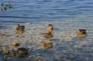 Werbellinsee, Wildenten